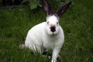 З м`яса кроликів можна приготувати багато смачних страв