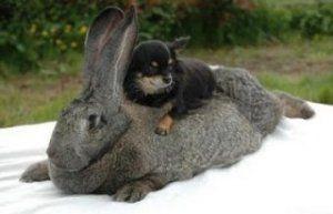 Кролики цієї породи бувають різних кольорів