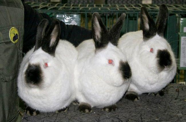 М`ясні породи кроликів - каліфорнійці
