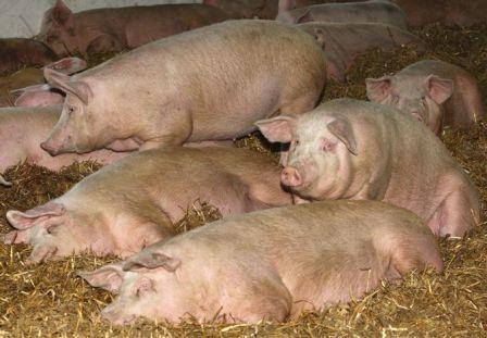 м`ясні породи свиней