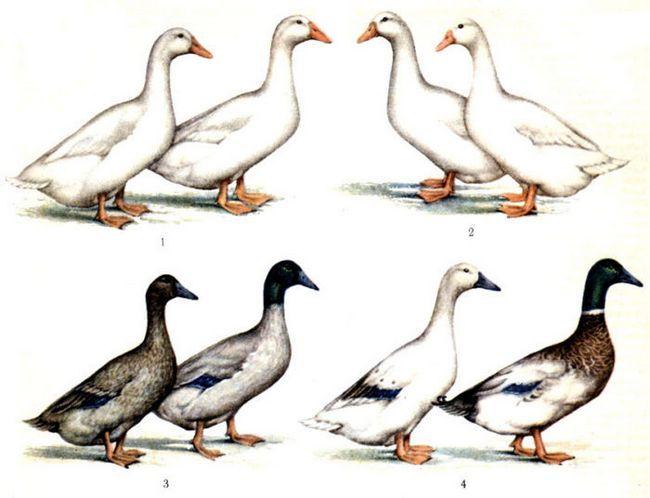 4 Породи качок