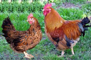Яйця даної породи великі