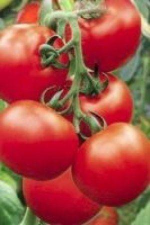 Плоди невеликих розмірів, але це не впливає на хорошу врожайність