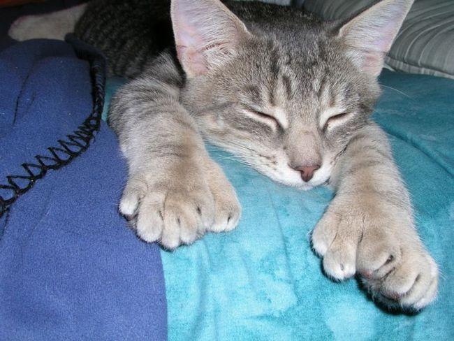 багатопалості кішки
