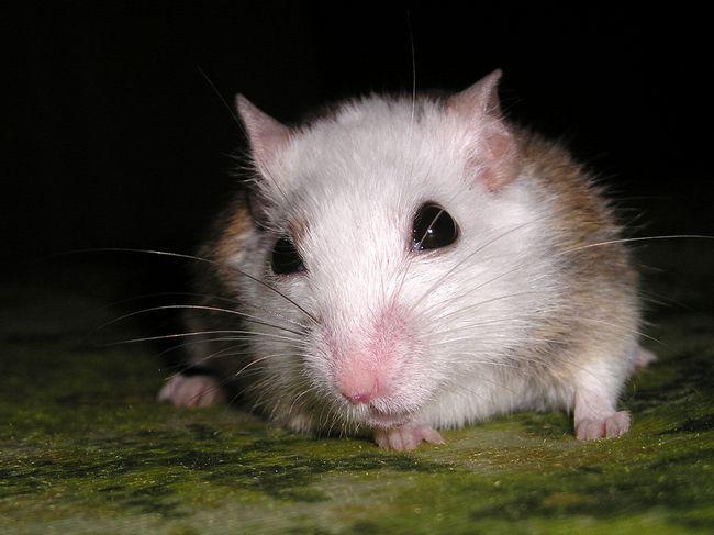 Многососковость миша