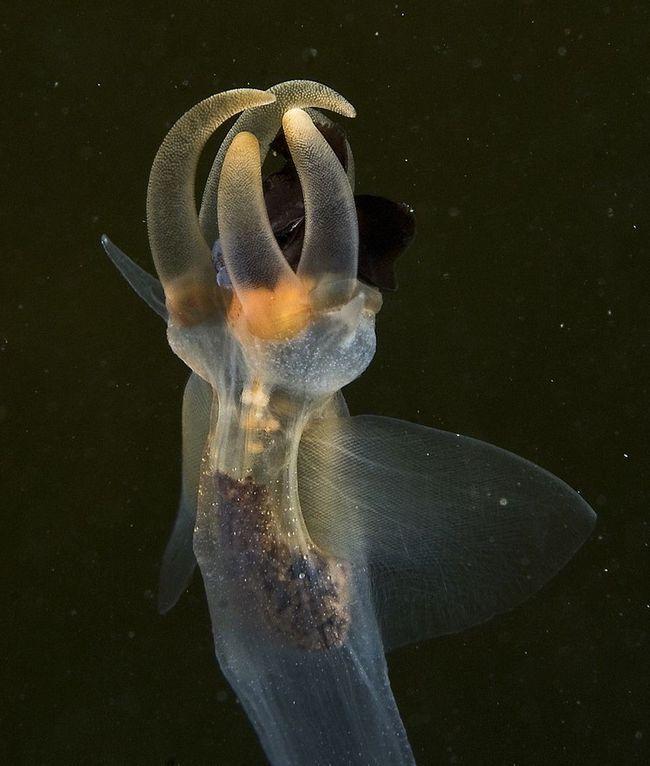 Щупальця морського ангела. Саме ними він і витягає морського чорта з його раковини.