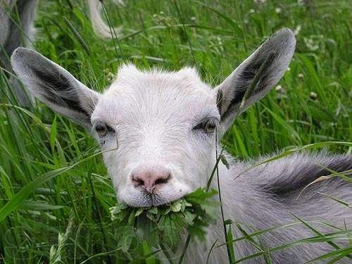 Молочні кози. Виробництво домашніх сирів