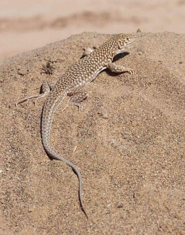 Монгольська ящірка - рептилія з тигровій забарвленням