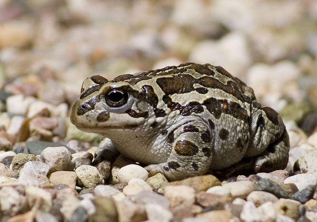Монгольська жаба (Bufo raddei).