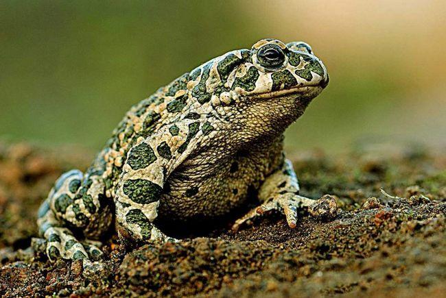. Дієта жаб може змінюватися, вони можуть харчуватися гусеницями, перетинчастокрилих та іншими комахами.