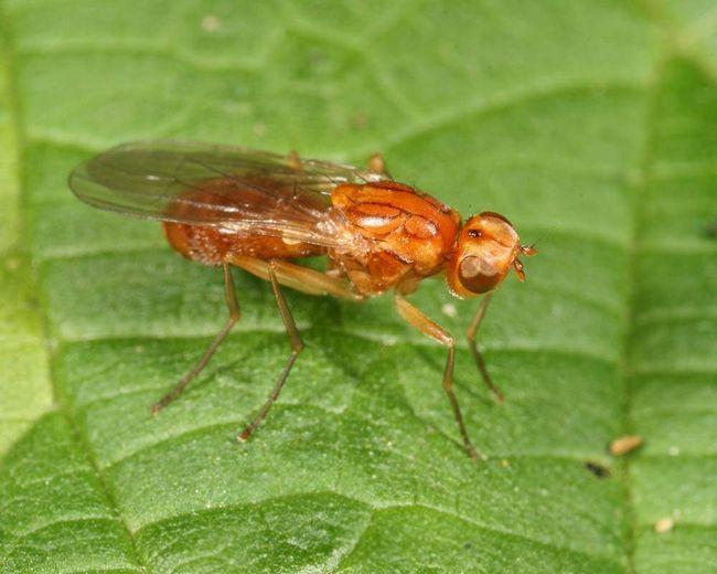 Морквяна муха (Chamaepsila rosae).