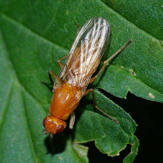 Личинки морквяних мух стійкі до холодів.