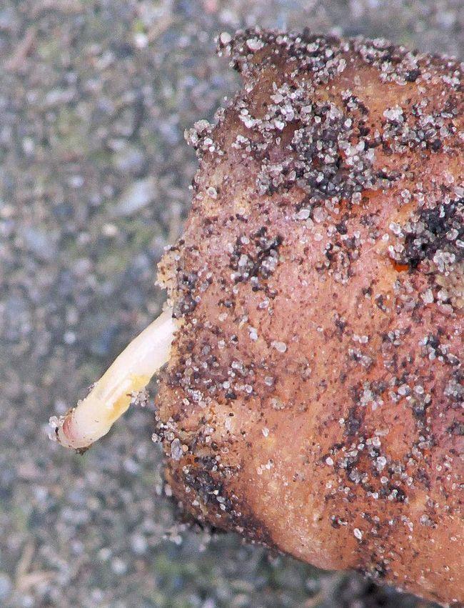 Усередині коренеплоду личинки проробляють ходи і харчуються м`якоттю моркви.
