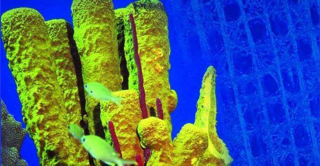 морська губка Euplectella ростить скляні спікули, які є відмінними оптичними волокнами.