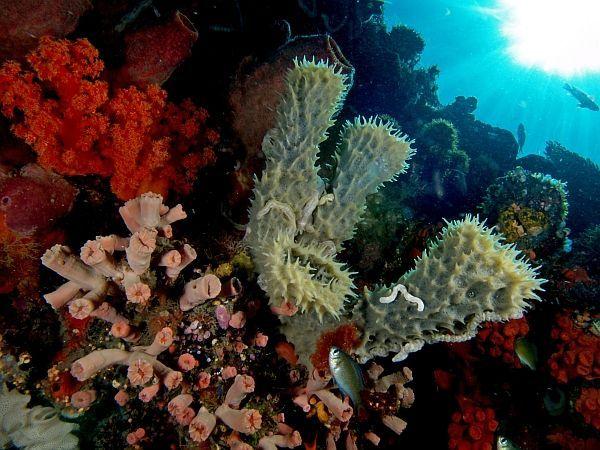 Трубчасті губки (в центрі) в оточенні коралів (фото Nick Hobgood / Wikimedia).