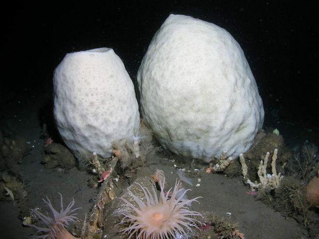 Морська антарктична губка (Anoxycalyx joubini).