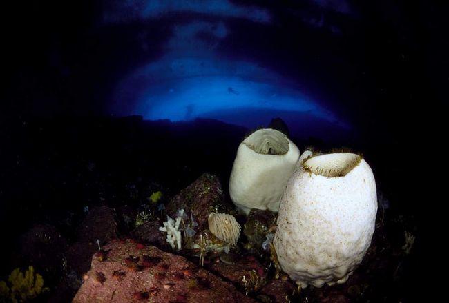 Вулканічна губка Anoxycalyx joubini - самий долгоживущий організм на планеті.