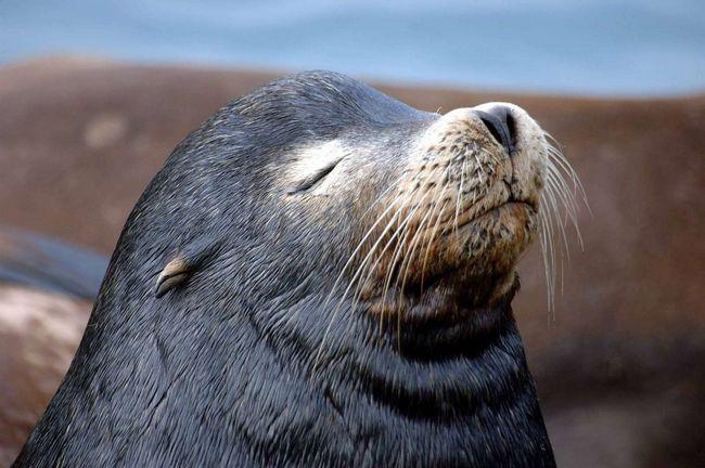 Вуха у морських котиків зовсім крихітні, спочатку їх і не помітиш