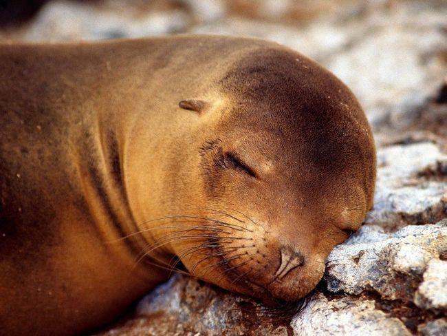 Спляча самка морського котика