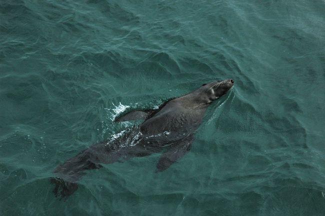 Цей Новозеландський морський котик (Arctocephalus forsteri) в воді почувається абсолютно вільно