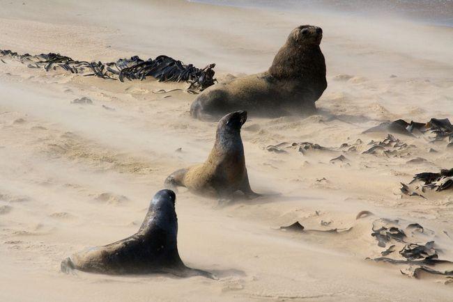 Самець морського котика охороняє двох самок, не дозволяючи іншим самцям до них наблизитися