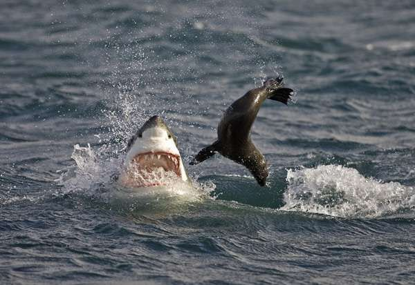 Морський котик робить неймовірні стрибки у відчайдушному зусиллі піти від акули
