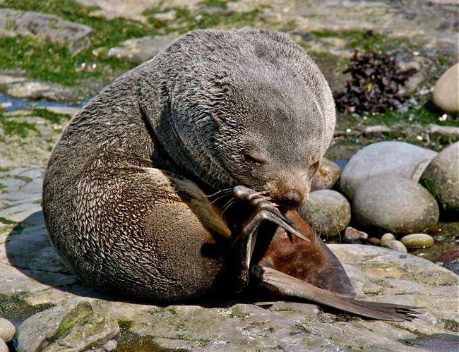 Кергеленскій морський котик (Arctocephalus gazella)