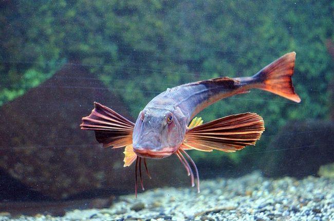 Морський півень (Triglidae).