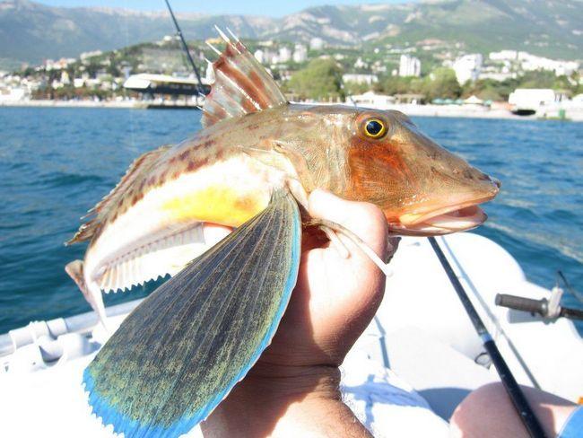 Морські півні - цінні промислові риби.