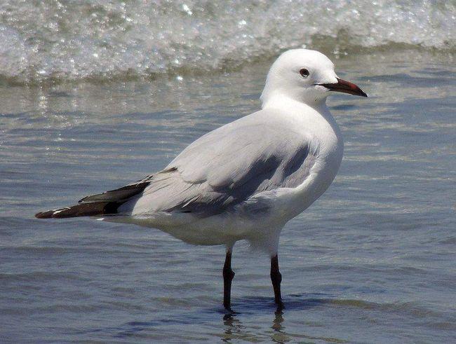 У молодих птахів верхня сторона сіра, нижня біла, сірі плями на голові і потилиці.