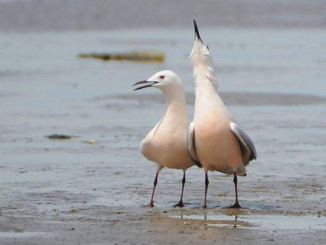 Морський голубок рідко зустрічається у відкритому морі далеко від узбережжя.