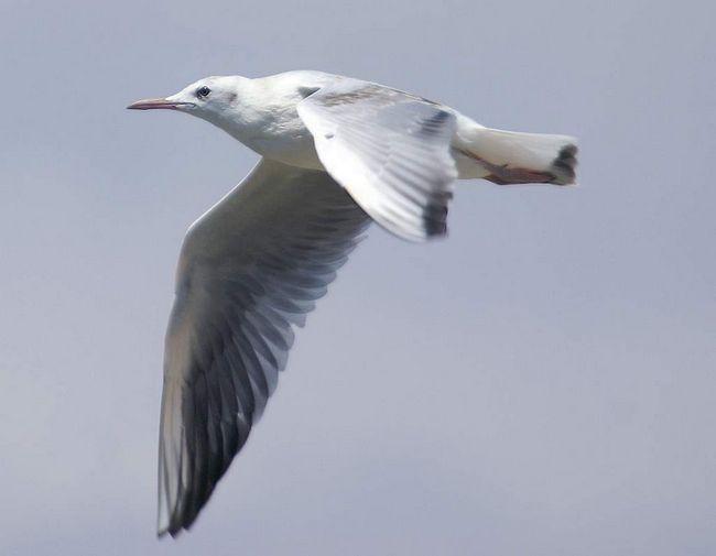 Морський голубок харчується переважно маленькими рибами, а також комахами і різними ракоподібними.