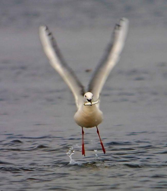 У морського голубка спокійний і рівний характер.
