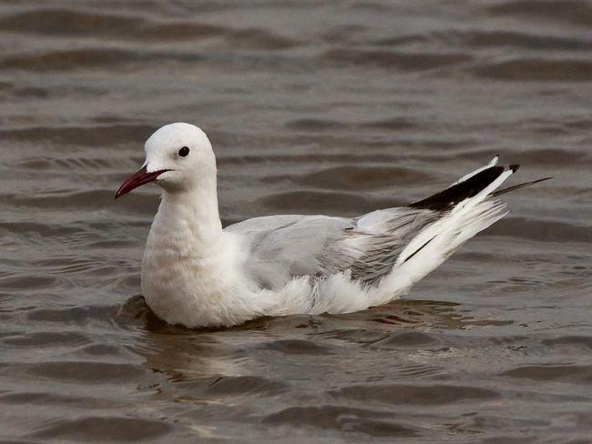 Морського голубка відносять до рідкісних видів птахів. Крім того, він занесений до Червоної книги.