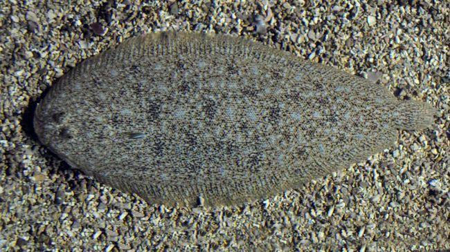 Риба мешкає на глибині від 20 до 85 м практично по всьому В`єтнамському узбережжю.