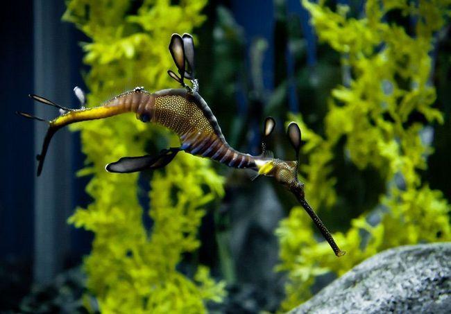 Трав`яний морський дракон, або коник-ганчірників (Phyllopteryx taeniolatus)