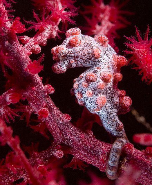 Найменший вид - карликовий морський коник (Hippocampus bargibanti) має довжину всього 2 см. Він абсолютно не відрізняється від коралових гілок