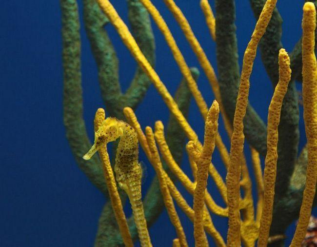 Морські коники досконало володіють мистецтвом камуфляжу