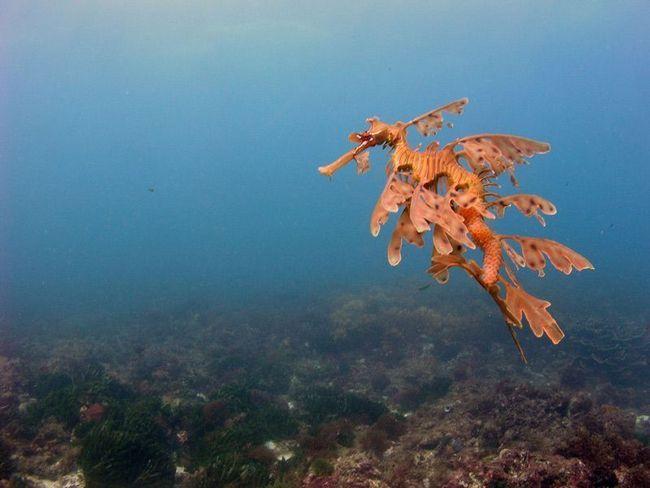 Листяний морський дракон виношує ікру