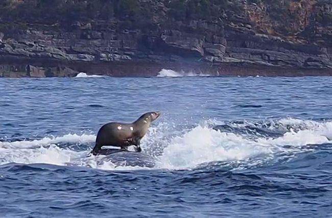 Біля берегів Австралії морський котик осідлав горбатого кита.