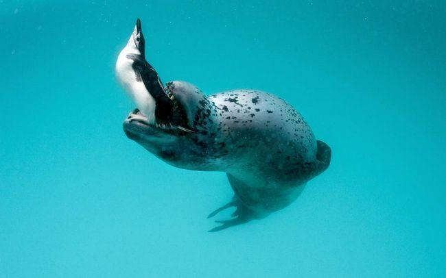 Морські леопарди - головні вороги пінгвінів.