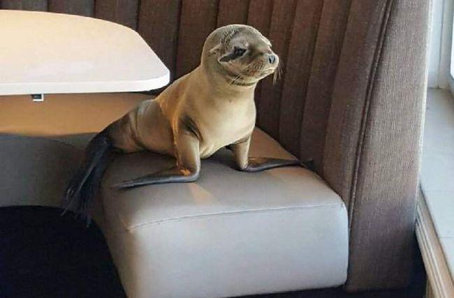 Морський лев в ресторані Сан-Дієго.