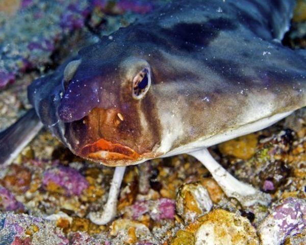 Морський нетопир (лат. Ogcocephalus) (англ. Batfish)