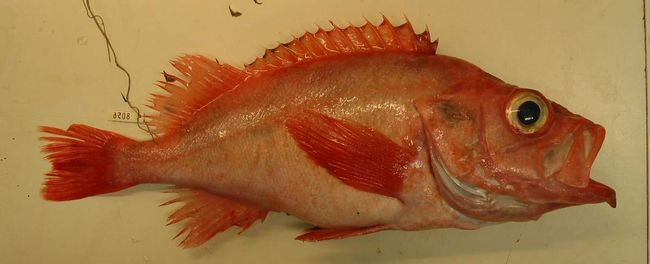 Морські окуні відносяться до скорпенових рибам, а тому їх шипи отруйні!