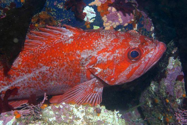 Морські окуні - рекордсмени-довгожителі, максимальний вік, до якого доживають ці риби склав 205 років!