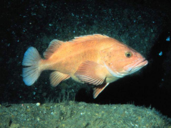 Харчування морських окунів складають тваринні організми: риби, ракоподібні.