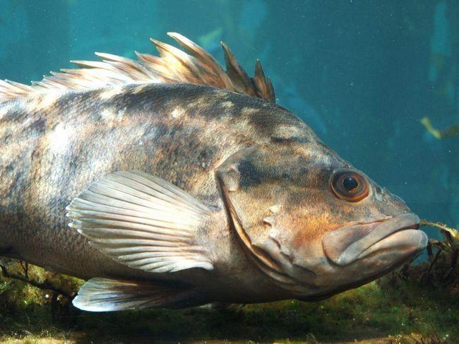 Більшість видів з роду морських окунів - глибоководні риби.