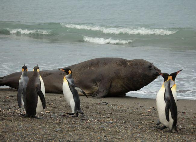Пінгвіни поруч з південним морським слоном дають уявлення про розміри цієї тварини
