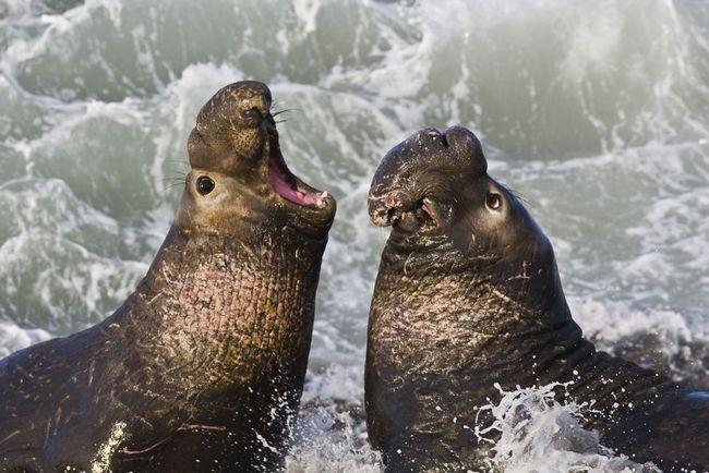 Самці північного морського слона під час шлюбного бою