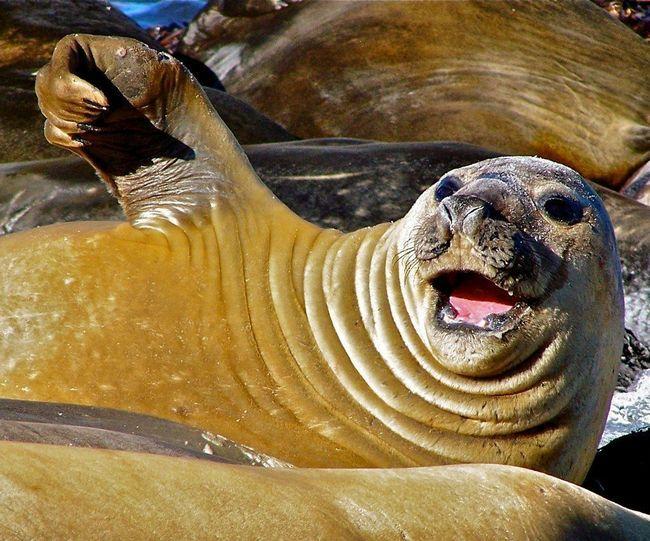 Самка південного морського слона на лежбище